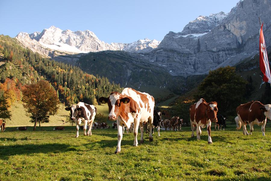 Kühe auf einer Weide im Karwendelgebirge.