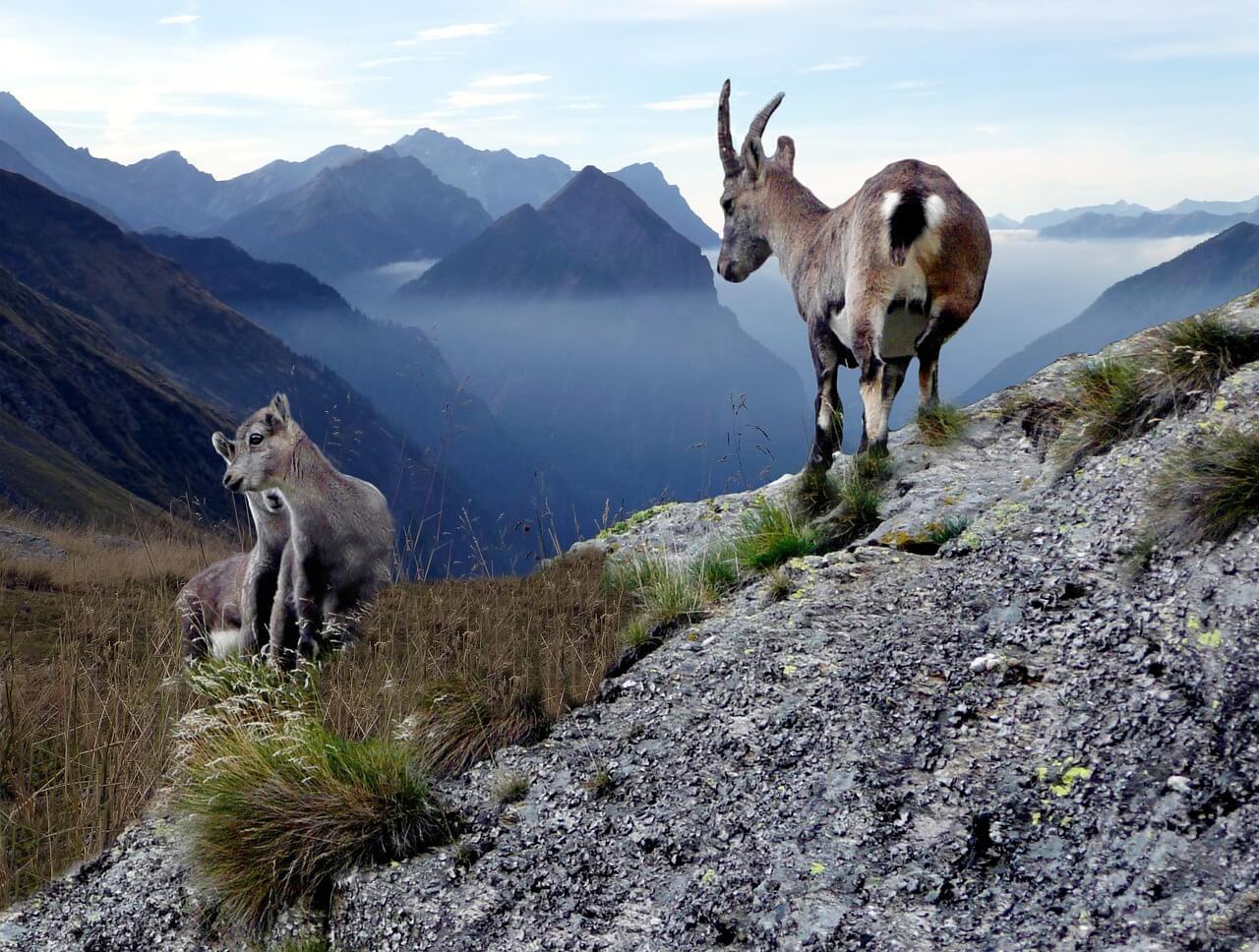 Gämse mit Jungtieren in der Greina-Hochebene in der Schweiz. Foto: Gabriela Fink, pixabay.