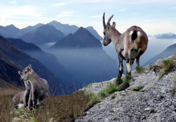 Chamois with young animals in the Greina plateau in Switzerland. Photo: Gabriela Fink, pixabay.