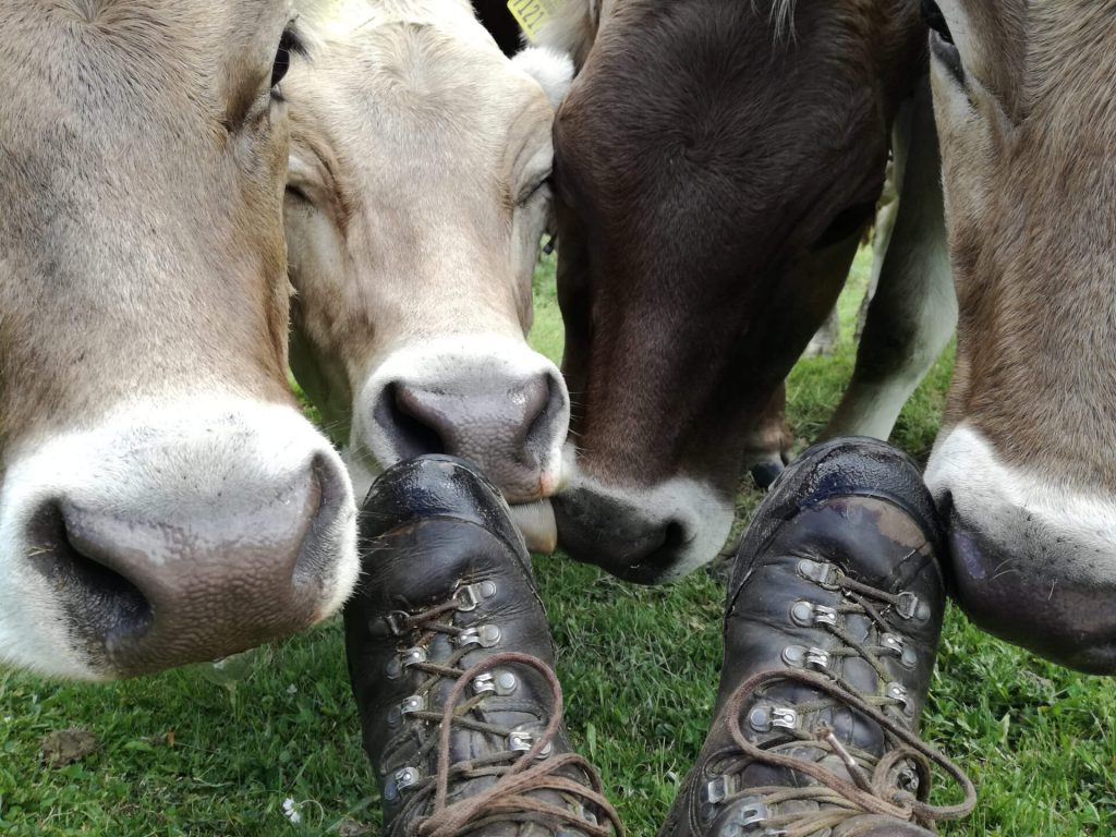 Four cows lick off the hiking boots of a hiker.