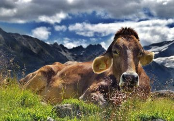 Sind Kühe beim Wandern gefährlich - Kuh am Rand eines Wanderwegs in den Alpen.