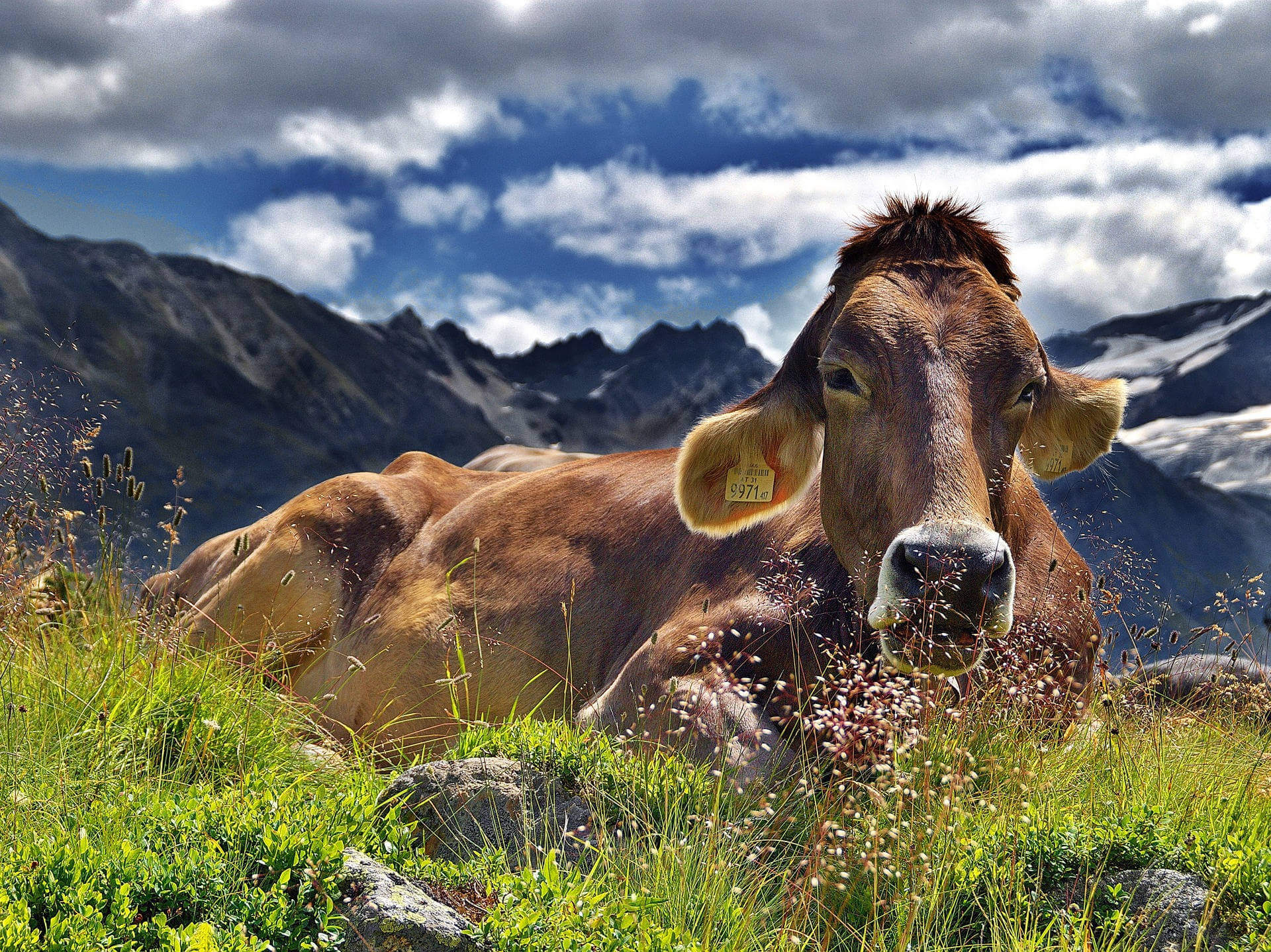Sind Kühe beim Wandern gefährlich - Kuh am Rand eines Wanderwegs in den Alpen