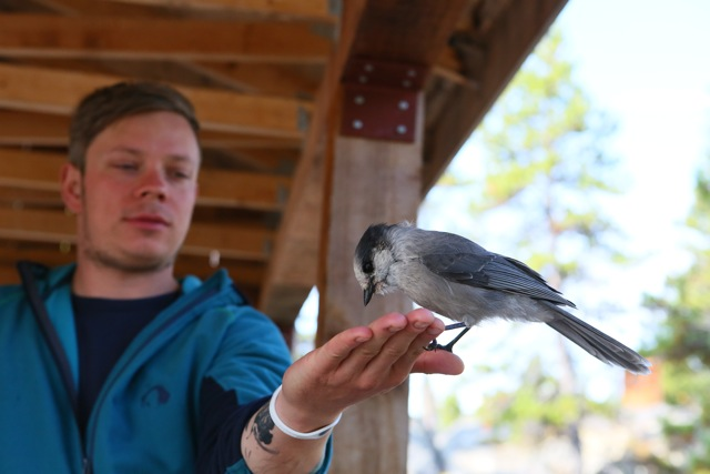 Ein Grey Jay Vogel, auch Meisenhäher genannt, frisst von Istvans Hand.