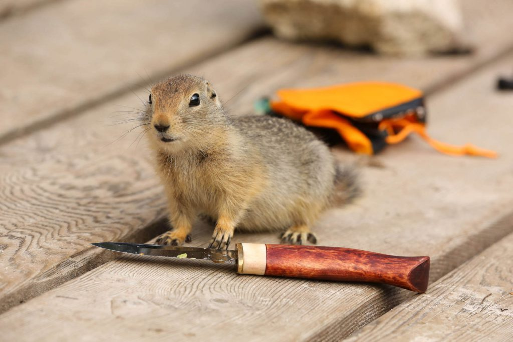Trekkingtour Chilkoot Trail - Neugieriges Eichhörnchen beim Begutachten eines Taschenmessers.