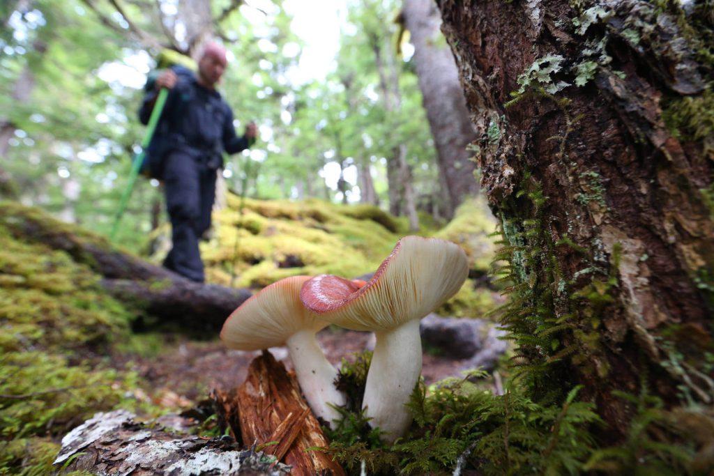 Trekkingtour Chilkoot Trail - Pilz entlang des Chilkoot Trails.