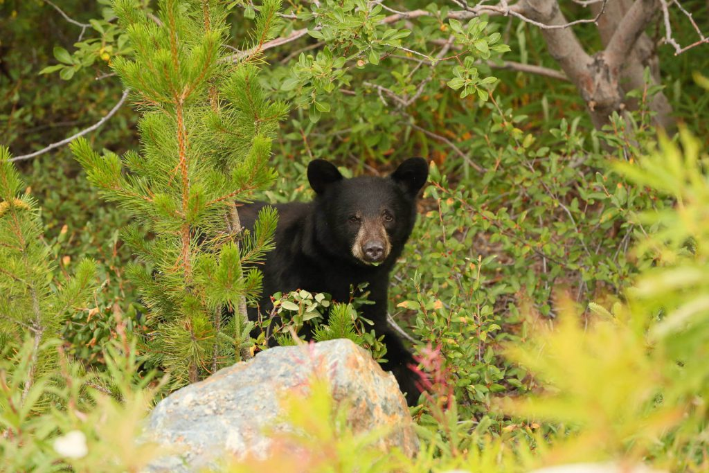 Black bear in the woods along the Chilkoot Trail.