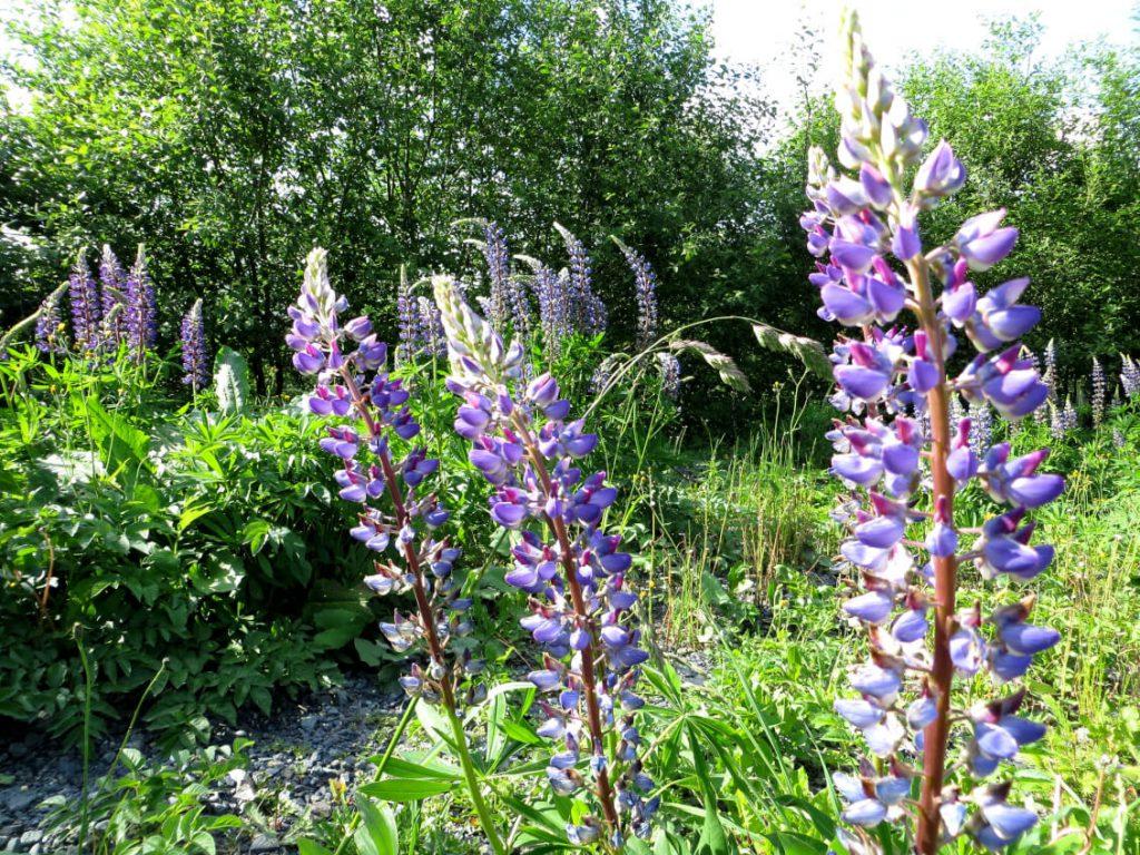 Blumenpracht beim Wandern auf dem Rothaarsteig.