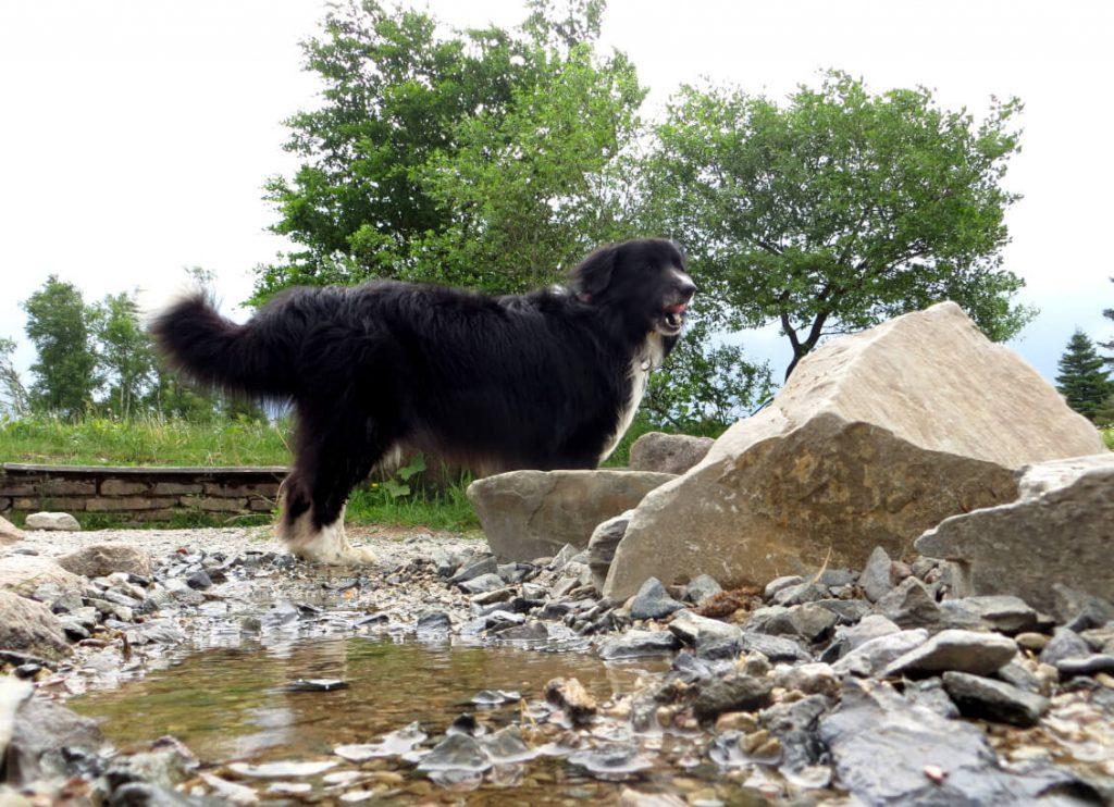 Hund vor einer Pfütze auf dem Rothaarsteig.